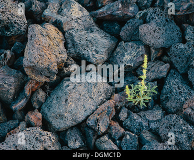 Piccolo germoglio verde roccia vulcanica lava solidificata campi crateri della luna Monumento Nazionale Snake River Foto Stock
