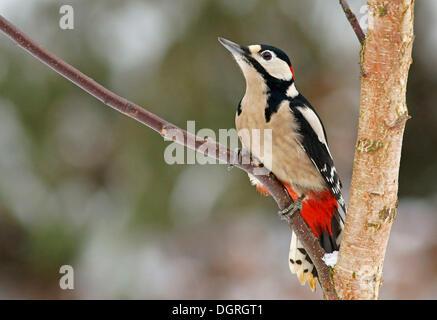 Picchio rosso maggiore (Dendrocopos major), maschio Foto Stock
