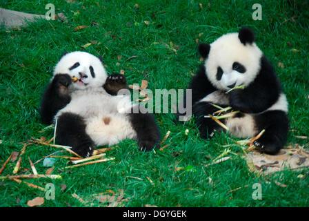 Baby Pandas (Ailuropoda melanoleuca), 8-18 mesi, a colazione, panda gigante allevamento Base di ricerca, Chengdu, Cina e Asia Foto Stock