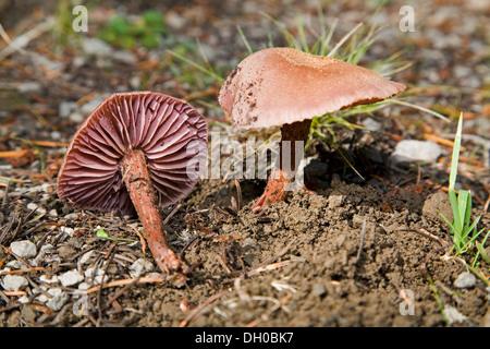 Cortinarius gentilis, di funghi selvatici che crescono in cascata delle montagne del nord ovest del Pacifico Foto Stock