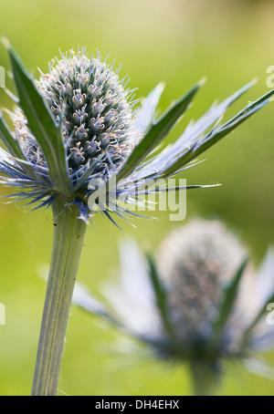 Mare holly, Eryngium x zabelii Jos Eijking. Thistle-come le teste dei fiori circondata da spinoso di colore argenteo delle brattee blu.