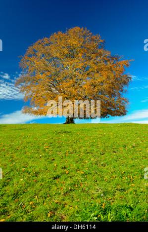 Unico faggio in autunno Foto Stock