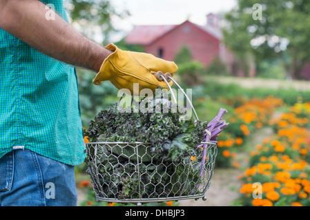 Un orto biologico in una fattoria. Un uomo che porta un cesto di fresco raccolti foglia verde raccolto. Foto Stock