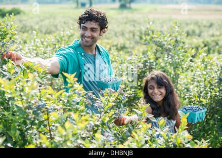 Una giovane ragazza e un uomo in piedi circondato da piante di mirtillo, raccogliendo i frutti di bosco. Foto Stock