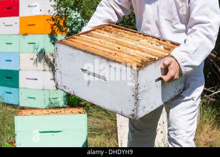 Sezione mediana di apicoltore portando scatola di nido d'ape Foto Stock