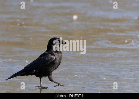 Carrion crow (Corvus corone) passeggiate sul lago ghiacciato di superficie, Wiltshire, Regno Unito. Foto Stock