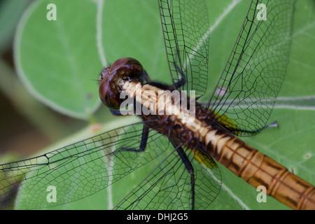 Primo piano della libellula in Cienaga las Macanas riserva naturale, Herrera provincia, Repubblica di Panama. Foto Stock