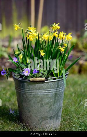 Narcissus tete a tete blanda anemone giallo blu miscelato mix contenitore di metallo a molla della benna fiore giardino Foto Stock