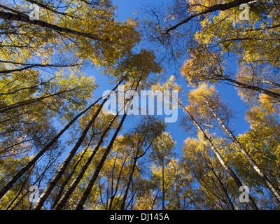 Autunno in un bosco di betulle, guardando verso l'alto sulle cime degli alberi con foglie di giallo e un cielo blu, Foto Stock
