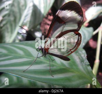 In prossimità di una farfalla Glasswing Foto Stock