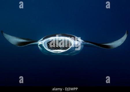 Manta Ray, Manta birostris l'assorbimento di plancton, canale tedesco, Palau, Micronesia, Oceano Pacifico Foto Stock