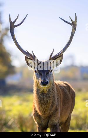 Ritratto di maestose potente adulto Red Deer cervo in autunno Foto Stock