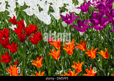Un letto colorato di fioritura tulipani in Brooklyn Botanic Gardens in New York City Foto Stock
