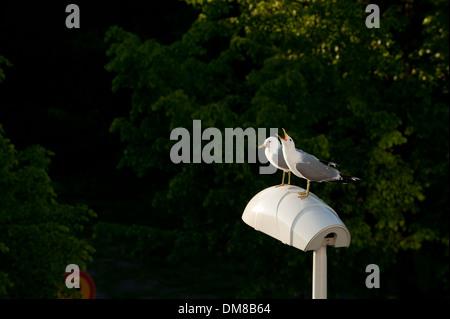 Due gabbiani seduto su una lampada posta Foto Stock