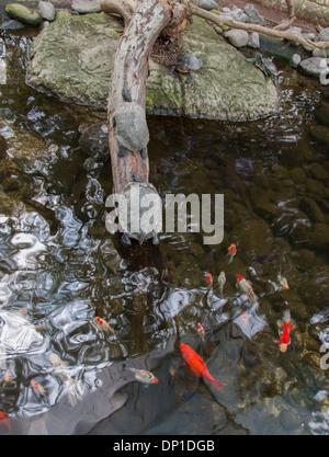 Vita laghetto con pesci rossi e tartaruga. Guadalajara, Jalisco. Messico Foto Stock