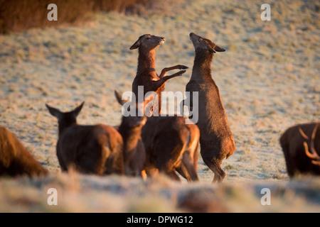 Due Red Deer hanno una lotta mentre pascolando nella frost a Ashton Court, Bristol Foto Stock
