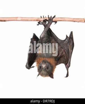 A testa grigia Flying Fox (Pteropus poliocephalus) Foto Stock