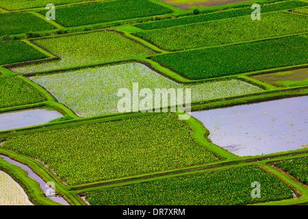 I campi di taro in Valle di Hanalei, Kauai, Hawaii, STATI UNITI D'AMERICA Foto Stock