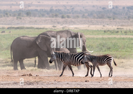 Zebra comune e gli elefanti in Amboseli National Park in Kenya Africa orientale Foto Stock