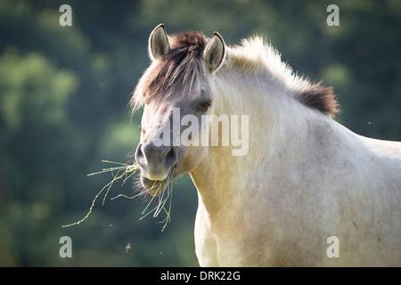 Polacco cavallo primitivo Dun adulto mangiare erba Austria Foto Stock