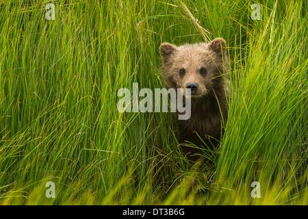 Stati uniti d 39 america alaska orso bruno in salmone for Cabine del fiume kenai soldotna ak