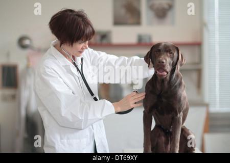 Veterinario femmina esaminando il cane in clinica Foto Stock