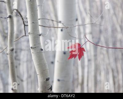 Un singolo rosse foglie di acero in autunno, contro uno sfondo di Aspen Tree trunk con crema e bianco corteccia. Foto Stock