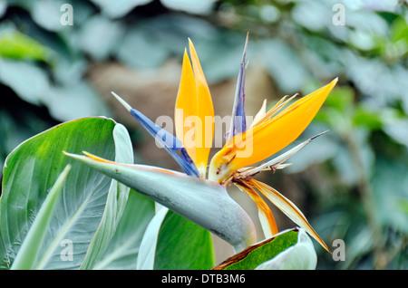 Uccello del Paradiso fiore / Gru Fiore (Strelizia) nel Surrey, Serra, Inghilterra Foto Stock