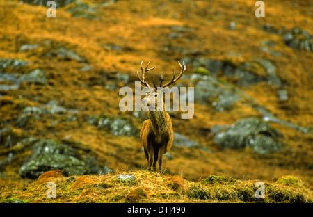 LONE Red Deer cervo (Cervus elaphus) costa ovest Highlands della Scozia