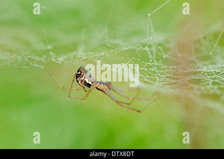 Sheet-Web Spider Foto Stock