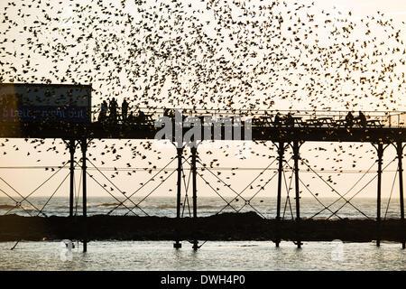 Aberystwyth, Wales, Regno Unito. 8 marzo 2014. Stormi di storni volare a roost in ghisa gambe del lungomare vittoriano pier a Aberystwyth sulla West Wales coast UK. Alla fine di un giorno caldo e soleggiato, con temperature che nel Regno Unito il raggiungimento 18C, le persone alla fine del molo Godetevi il tramonto su Cardigan Bay e il murmuration degli uccelli Photo credit: Keith morris/Alamy Live News