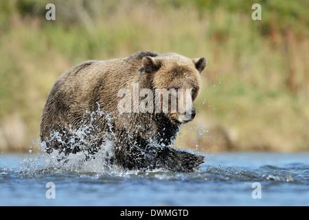 Orso grizzly (Ursus arctos horribilis) la pesca in acqua e pesce di fronte. Foto Stock