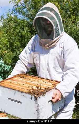 Apicoltore che trasportano trame a nido d'ape in cassa Foto Stock