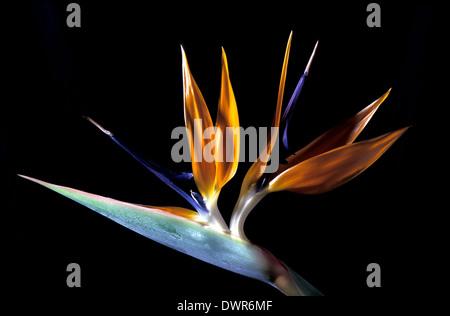 Stelizia reginae uccello del paradiso fiore Foto Stock