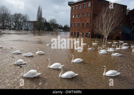 I cigni nuotare in acqua di inondazione in Worcester city centre, Regno Unito. Il fiume Severn scoppiare le sue Foto Stock