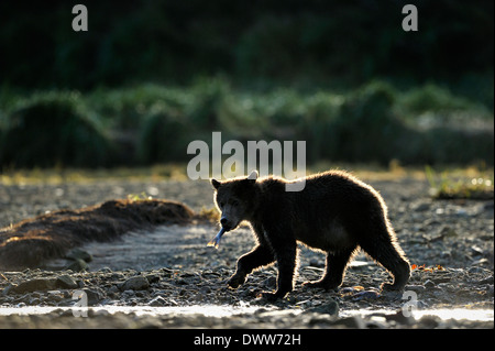 Il novellame di orso grizzly (Ursus arctos horribilis) a piedi la spiaggia con pesce e luce posteriore. Foto Stock