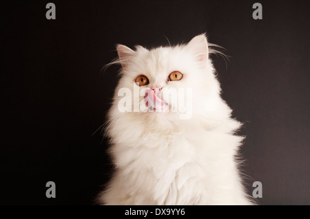 Cat leccare la sua bocca Foto Stock