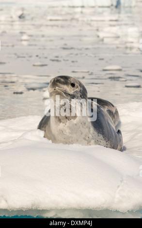 Una guarnizione di tenuta di Leopard (Hydrurga leptonyx) trasportata su un iceberg nel fiordo Drygalski, Antartico Foto Stock