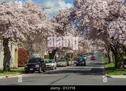 Fiore di Ciliegio alberi in piena primavera fioriscono lungo Moss street-Victoria, British Columbia, Canada. Foto Stock