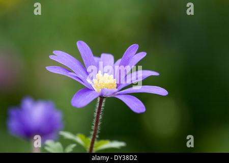 Anemone blanda in un fiore di primavera confine. Foto Stock
