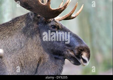 L'Alce Elk Alces alces Nuovo Mondo cervi selvaggi elk-ungulato Stag Cervo stags europeo Alce Elk bull elk autunno Foto Stock