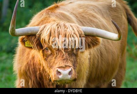Highland bovini con corna minacciosa. Foto Stock