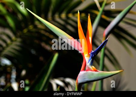 Uccello del paradiso (Strelitzia reginae) fiore in giardino. Foto Stock