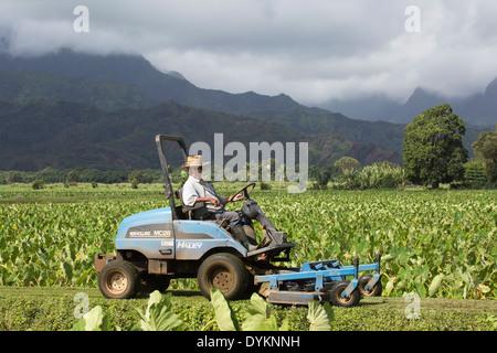 Uomo anziano falciatura tra i campi di taro nella Valle di Hanalei, Kauai