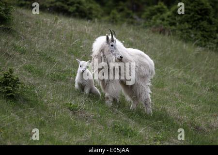 Capre di montagna, Oreamnos americanus, capretto e vigile madre Foto Stock