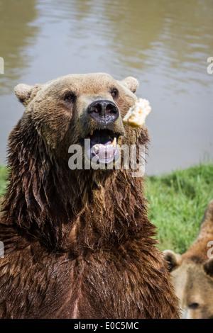 Gettare il cibo in un adulto orso bruno thats in attesa con la bocca aperta con buona sincronizzazione Foto Stock