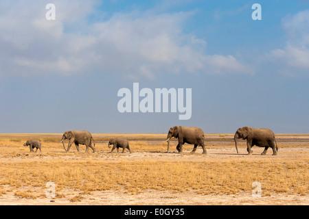 Gli elefanti africani in Amboseli Parco nazionale, Kenya., elefanti africani in Amboseli National Park Foto Stock