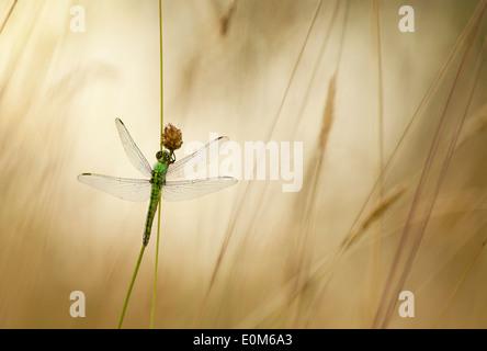 Un verde Darner dragonfly attende per l'avvertimento di raggi di sole del mattino, Oregon, Stati Uniti d'America Foto Stock