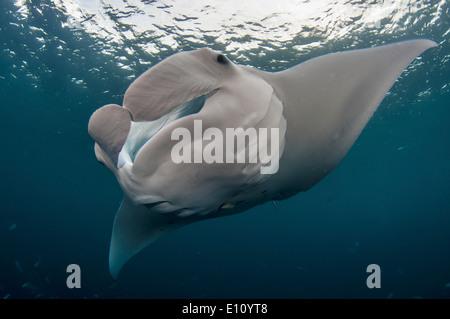 Manta ray, Palau (Manta birostris) Foto Stock