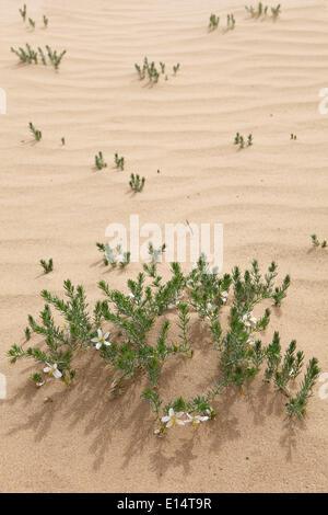 Syrian Rue (Peganum harmala) nelle dune di sabbia di Khongoryn Els, Gobi Gurvansaikhan National Park, deserto dei Foto Stock